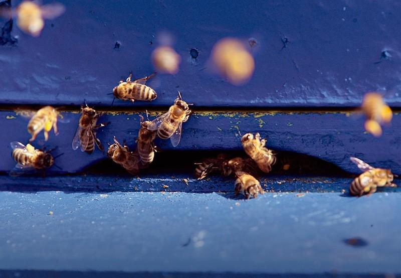 Pestycydy Zabijają Pszczoły